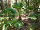 Palmier miniature de Chusan, Palmier moulin à vent nain, Trachycarpus wagnerianus