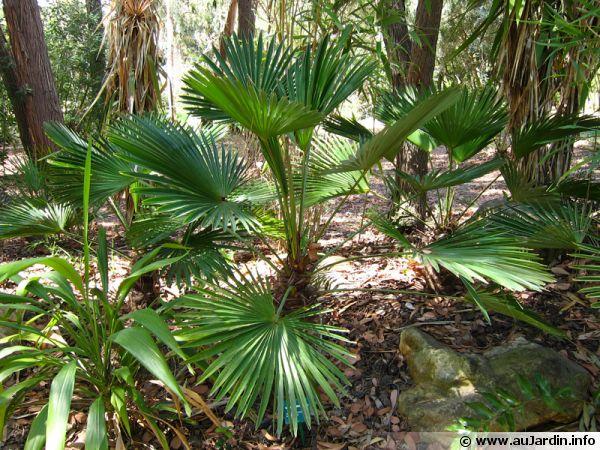 palmier trachycarpus wagnerianus