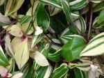 Mis�re, Tradescantia flumensis 'Tricolor'