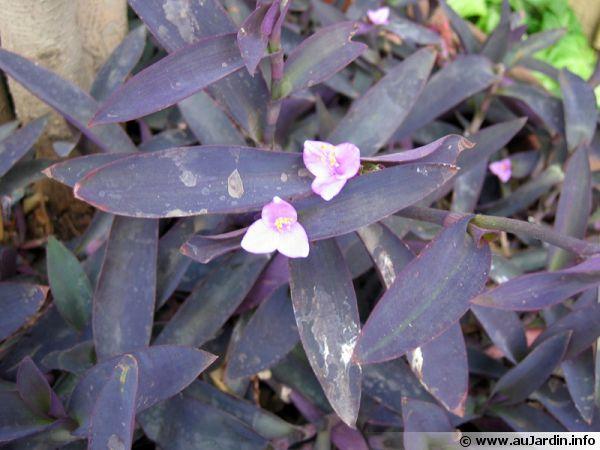 commelinaceae    commelinac u00e9es