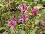 Fleurs de Tricyrtis formosana, Lis crapaud de Formose