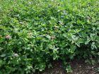 Trèfle des prés, Trèfle violet, Trifolium pratense