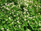 Trèfle blanc, Trèfle rampant, Trifolium repens