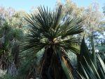 Palmier trident, Trithrinax campestris