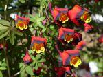 Capucine tricolore, Tropaeolum tricolor