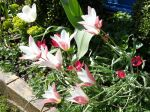 Tulipe de l'écluse, Tulipe de Perse, Tulipe radis, Tulipa clusiana