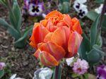 Questions fréquentes sur la tulipe