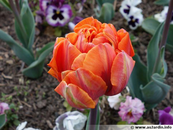 Une tulipe orange très double !!