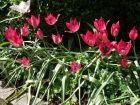 Les tulipes botaniques