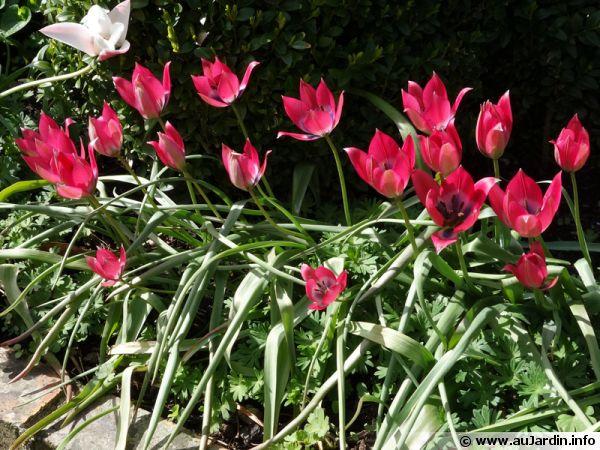 Les tulipes botaniques dans les plates-bandes...