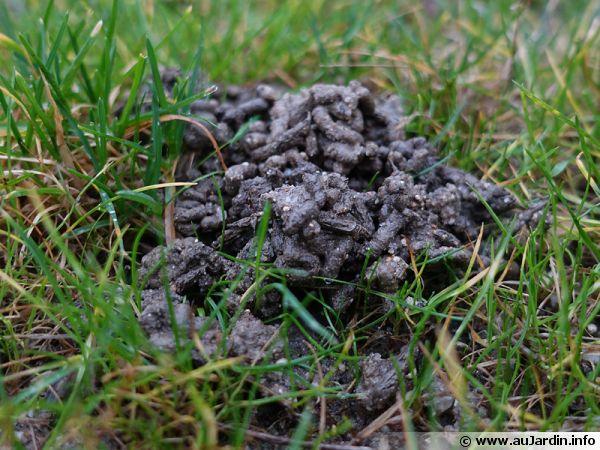 Des turricules de vers de terre dans la pelouse