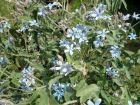 Etoile du sud, Tweedia caerulea