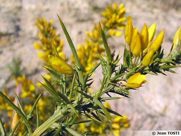 Ajonc de Provence, Ulex parviflorus