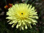 La fleur de la chicorée amère, Urospermum dalechampii