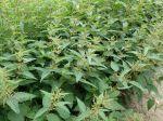 Les orties, utiles au jardin et aux insectes