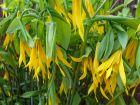 Uvulaire à grandes fleurs, Uvularia grandiflora