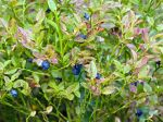 Myrtillier commun, Myrtille sauvage, Vaccinium myrtillus