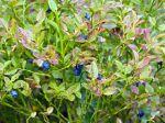 Myrtille (Vaccinium myrtillus), Plateau des Gli�res, Haute-Savoie, France