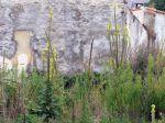 Bouillon Blanc, Mol�ne, Verbascum Thapsus