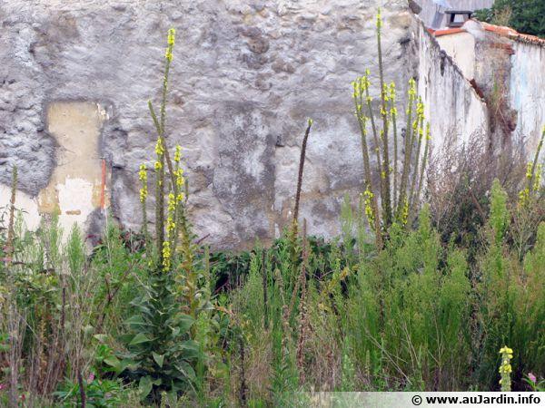 Bouillon Blanc, Molène, Verbascum Thapsus