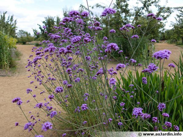 Verbena bonariensis est originaire des friches et des prairies du Brésil