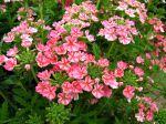 Verveine hybride, Verbena x hybrida, Verbena hortensis
