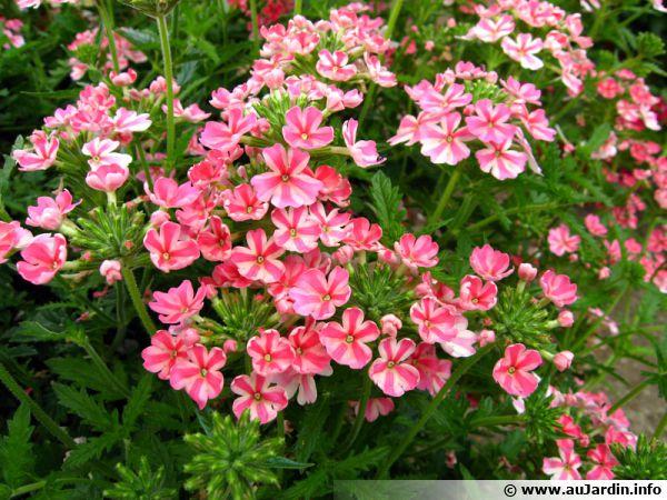 verveine hybride  verbena x hybrida  verbena hortensis