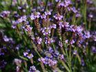 Verveine de MacDougall, Verveine du Nouveau-Mexique, Verbena macdougalii