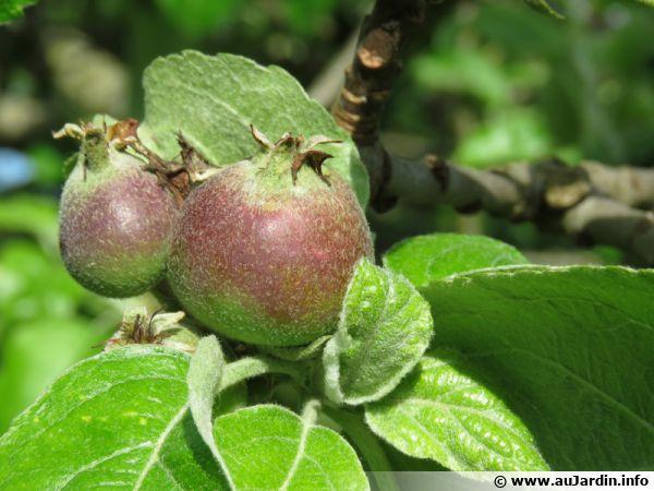 Le verger en permaculture