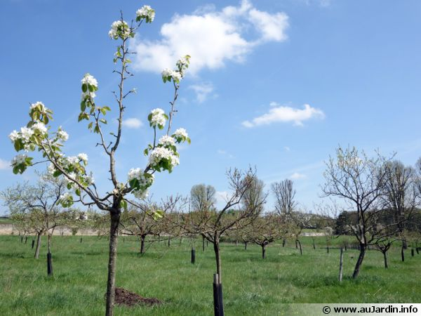 Un verger au printemps