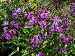 Vernone hybride, Vernonia angustifolia x missurica
