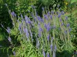 Véronique à feuilles longues, Veronica longifolia