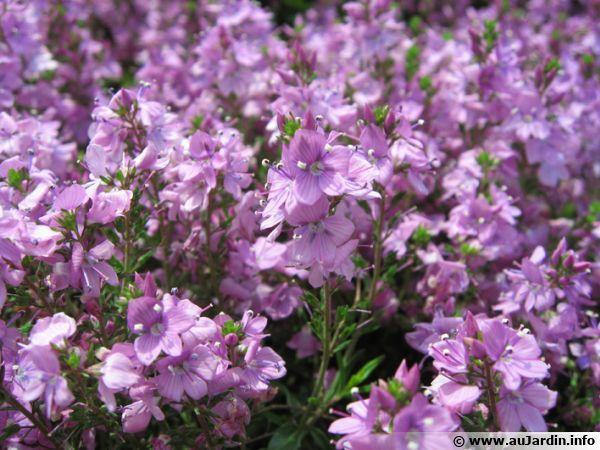 Fleurs de Veronica prostrata 'Mrs Holt'