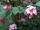 Viorne de Carles, Viorne de Corée, Viburnum carlesii