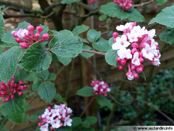 viorne de carles  viorne de cor u00e9e  viburnum carlesii