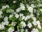 Viorne à feuilles de prunier, Viorne américaine, Viburnum prunifolium