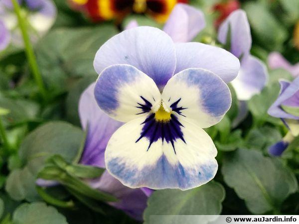Violette cornue pens e cornes pens e cornue viola cornuta - Pensee fleur vivace ou annuelle ...