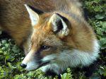 Le renard, un nuisible surtout pour les chasseurs