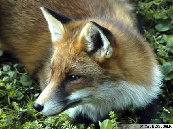 Le renard guette