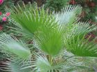 Palmiers, les plus rustiques