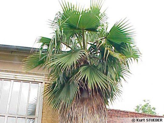Palmier du mexique washingtonia robusta - Type de palmier ...