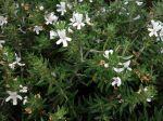 Romarin d'Australie à longues feuilles, Westringia longifolia
