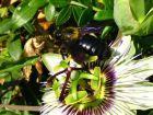 Aider les abeilles sauvages