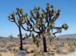 Yucca brevifolia, Arbre de Josu�