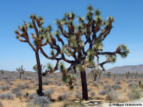 Yucca brevifolia, Arbre de Josué