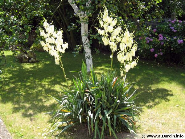 yucca filamenteux yucca filamentosa planter cultiver multiplier. Black Bedroom Furniture Sets. Home Design Ideas