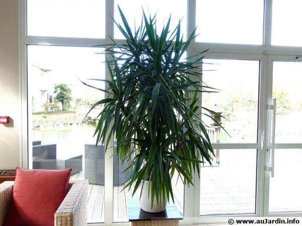 Un yucca à l'intérieur profitant de la luminosité d'une fenêre