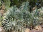 Yucca à feuilles linéaires, Yucca linearifolia