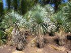 Yucca rostré, Yucca rostrata