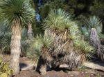 Yucca de Thompson, Yucca thompsoniana